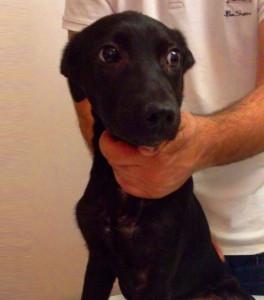 Tobias - Cão para adopção